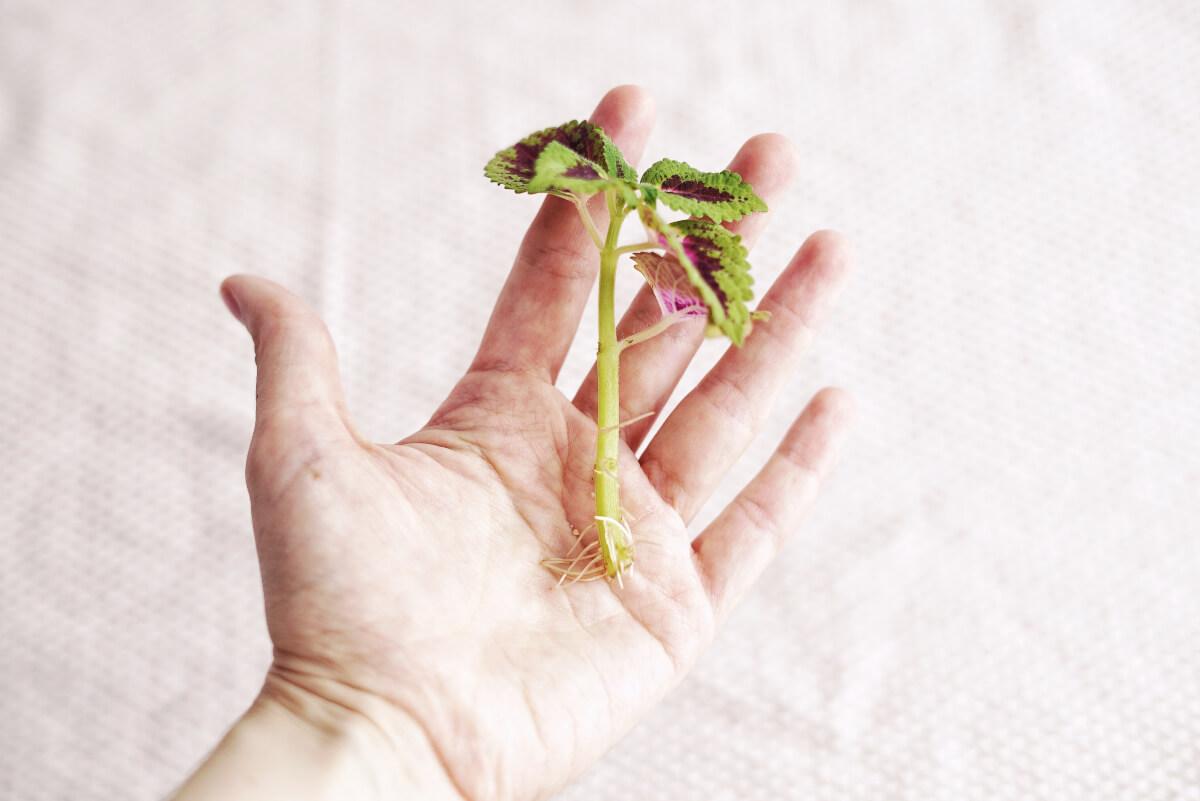 Plantbyrån, skötsel palettblad