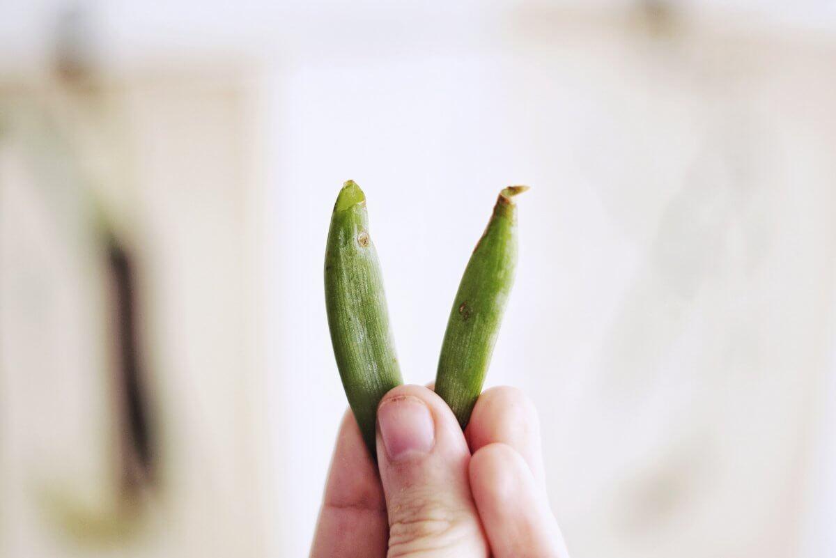 Plantbyrån stickling suckulent
