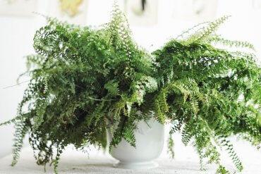 Plantbyrån skötsel ormbunke
