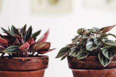 Skötsel peperomia Plantbyrån