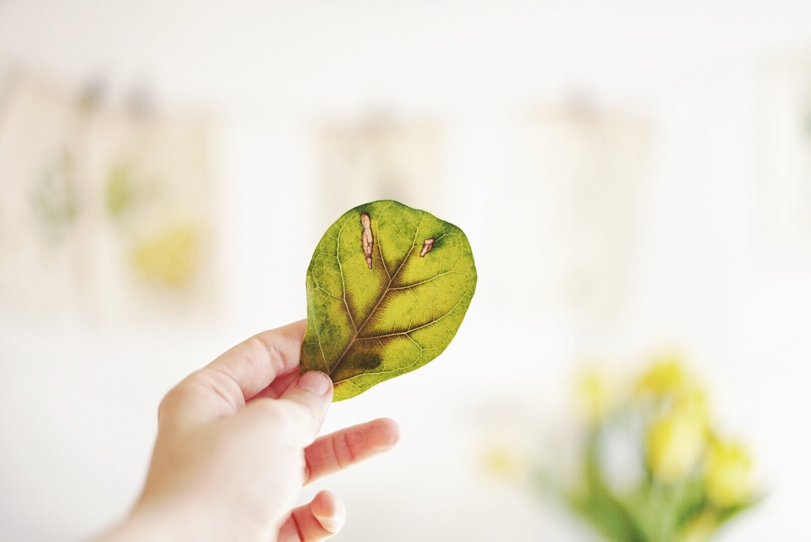 Gula blad fikus