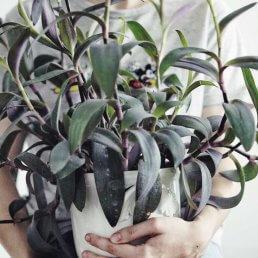 Purpurblad skötsel Plantbyrån