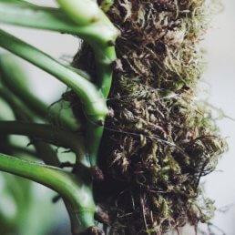 fästa växt på en mosspåle
